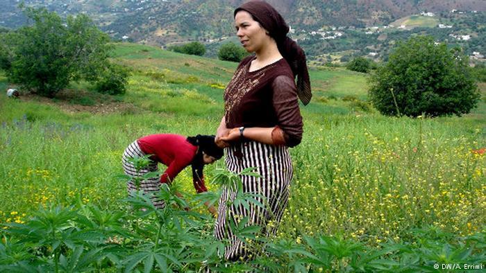 مزرعه یک نوع شاهدانه خاص در مراکش که از آن حشیش و ماریجوانا تولید میشود